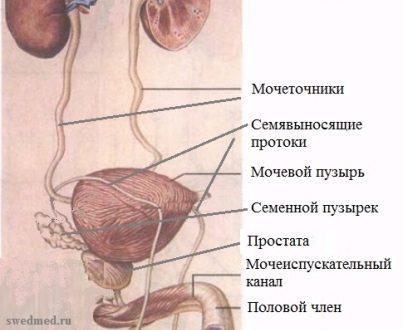 muzhskiye-mochepolovyye-organy